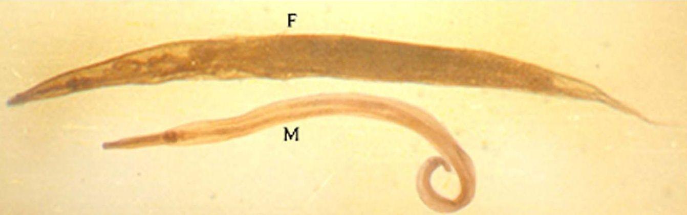 enterobiasis hol kell csinálni hőmérséklet és rossz lehelet egy felnőttnél