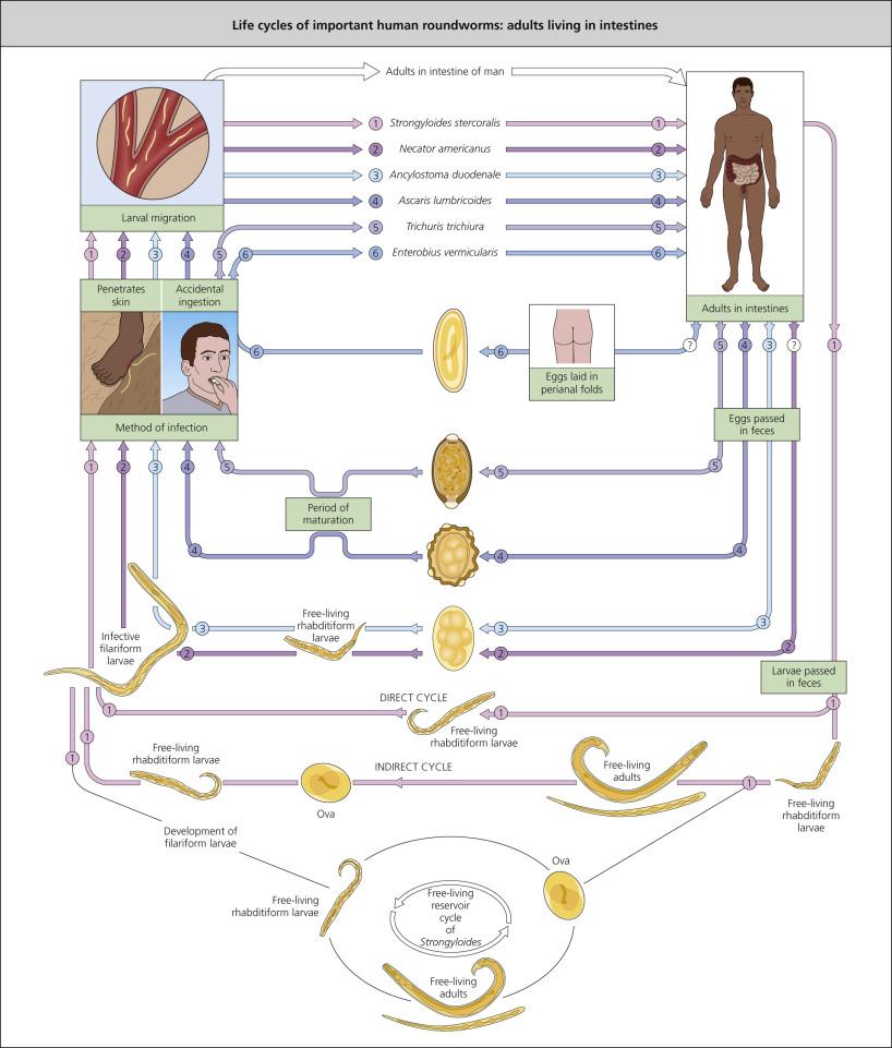 pinworm host)