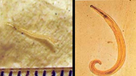 paraziták és protozók férgek helmintáinak tisztítása)
