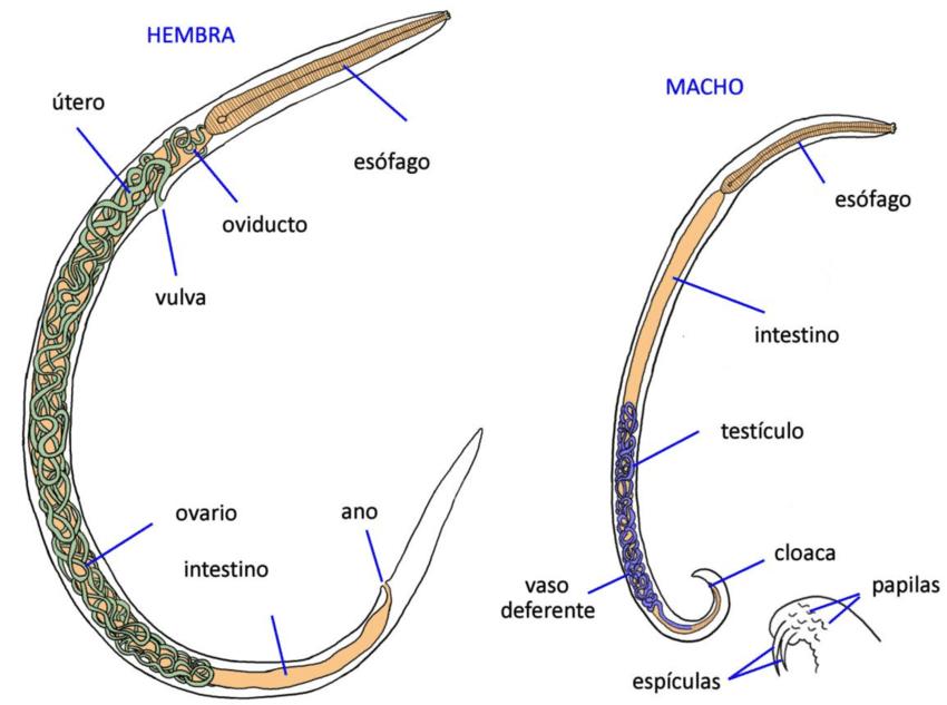 Trichocephalosis morfológia,