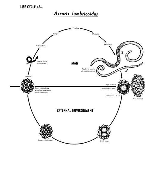 Ascaris tenyésztési ciklus