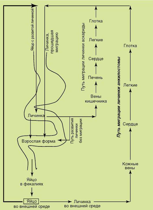 necatorosis ciklus