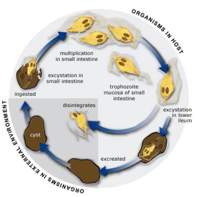 giardia reproduction rossz lehelet 2020