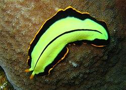 platyhelminthes turbellaria)