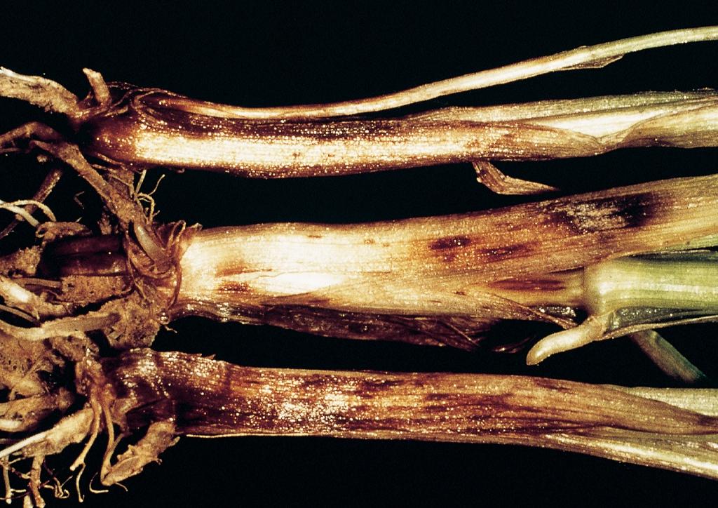 helminthosporium sativum árpa)
