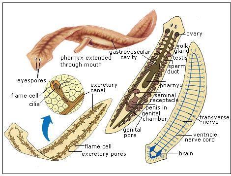 phylum platyhelminthes diagramon féreg)