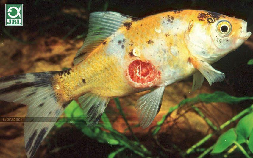 A hal egy élősködő emberben él)