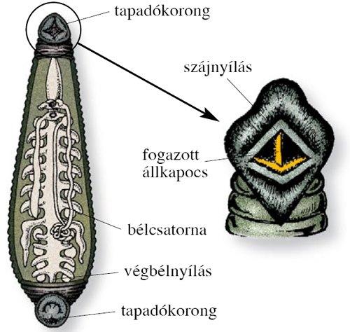 Piócák – Wikipédia