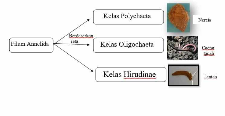 táblázat perbedaan kelas nemathelminthes)