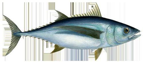Tonhal: a nyers és konzerv halak előnyei és kárai