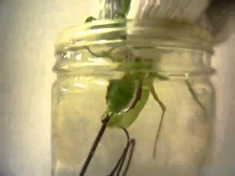 Imádkozó sáska hordoz parazitákat - rays.hu