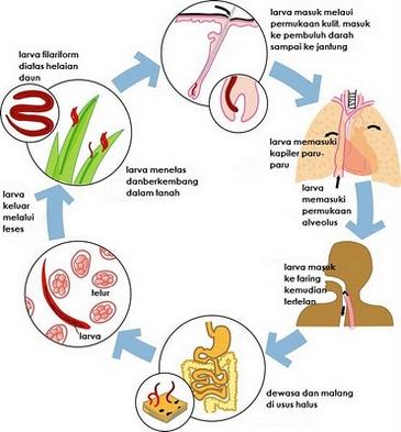reproduksi dan peranan nemathelminthes)