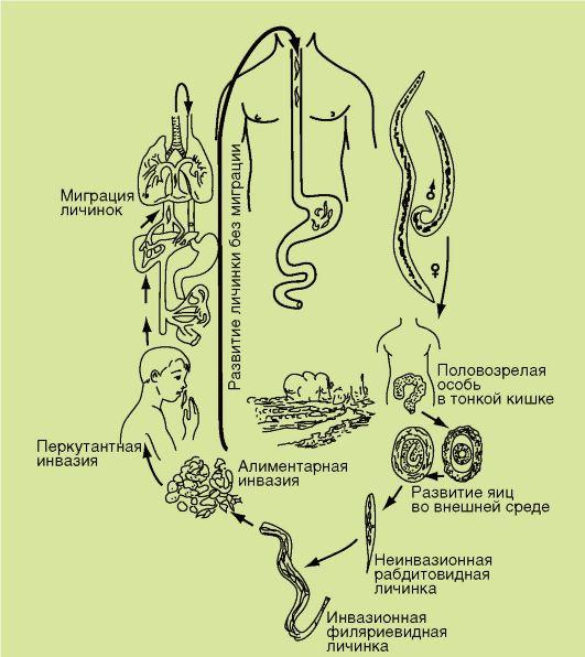 necatorosis ciklus)
