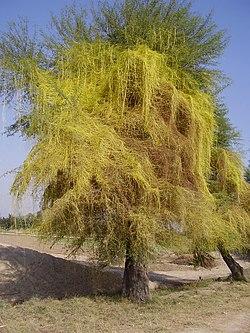 növényi élősködő
