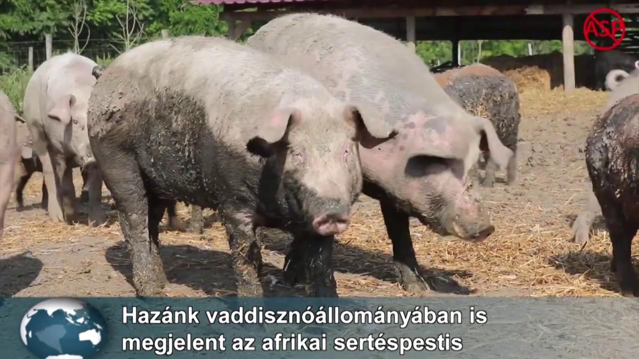 szarvasmarha szalagféreg átviteli mechanizmusa)
