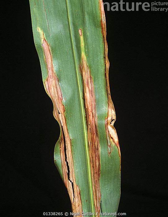 Kukorica északi levélfoltossága (Helminthosporium turcicum)