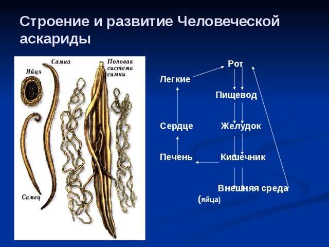 alkalmazkodás a parazitizmushoz az emberi körgyűrűben)