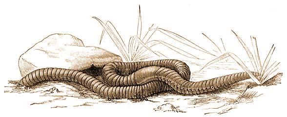 Szúnyog terjeszti a szívférget