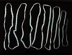 galandféreg lárvájával fertőzött