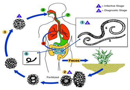 ascaris gyógymód a férgek ellen kenet a Trichomonas citológiájához