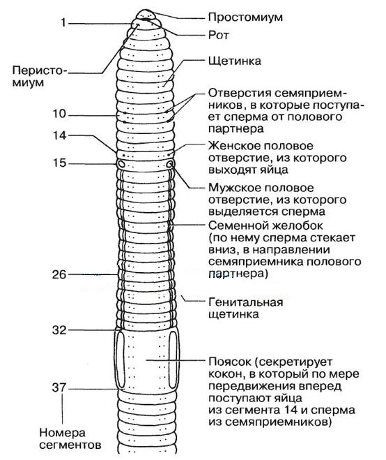 férgek és pinworms különbség