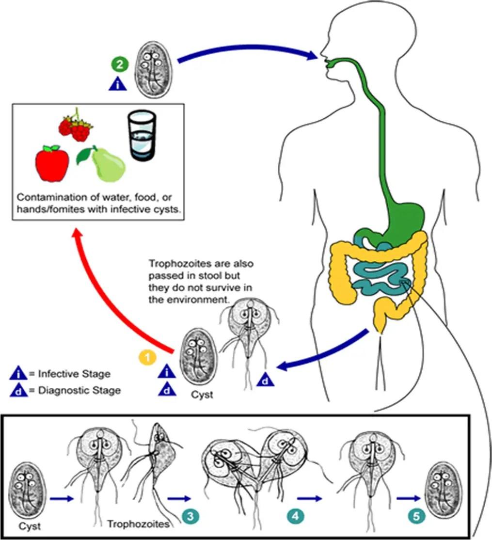 giardia cdc life cycle