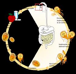 giardia parasit behandling