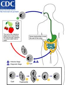 Giardia life cycle veterinary, Giardia in water treatment. Giardiasis nsp