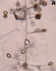 helminthosporium kolónia