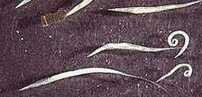 hogy néznek ki a pinworm lárvák