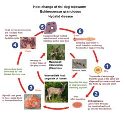 Uborka szalagféreg dipilidiosis. A Cannavtel összetétele kutyák számára
