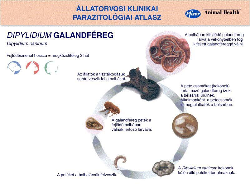 Uborka szalagféreg dipilidiosis, A macskafehér férgek ürülékének megjelenésének veszélye