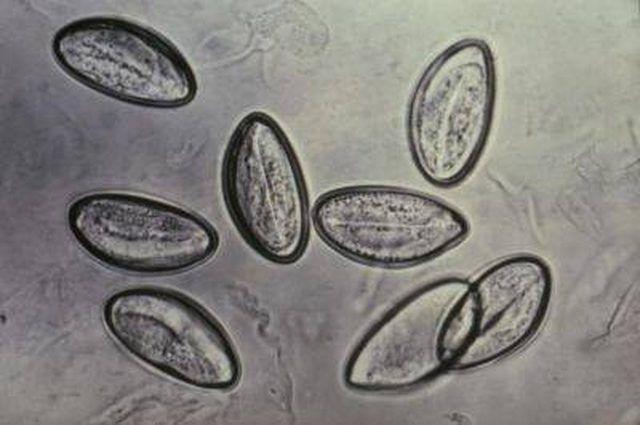 pinworm tojások)
