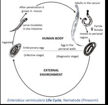 pinworms enterobius vermicularis)