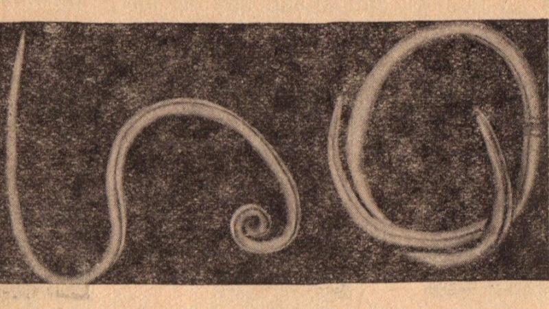 pinworms felnőttkori tablettákban