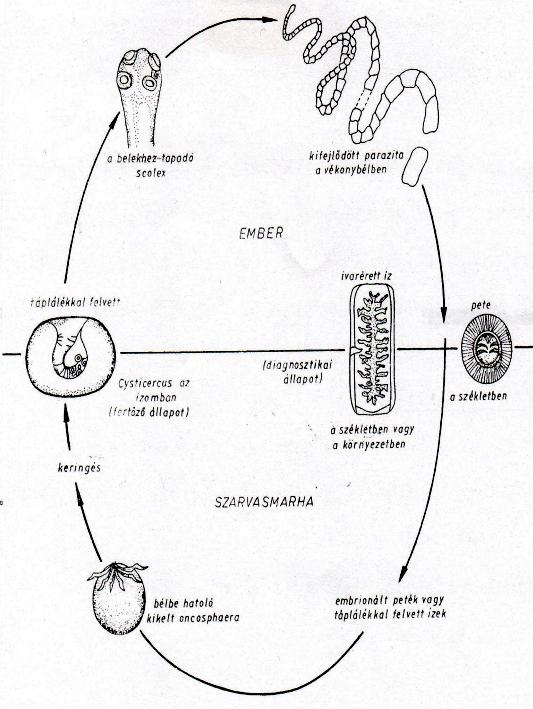 szalagféreg külső szerkezete)