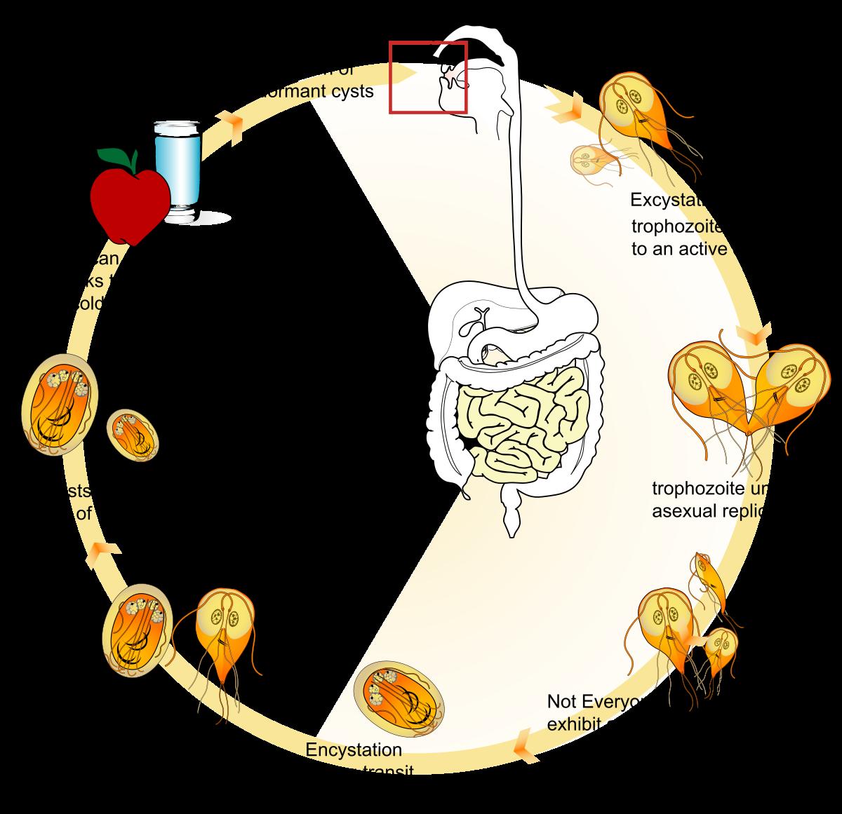 Ornidazol felülvizsgálat a giardiasisról. A diphyllobothriasis fejlődési ciklusa